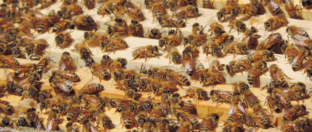 Bees-slide